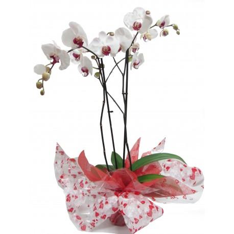 planta con flores orquídea el rincón de las flores