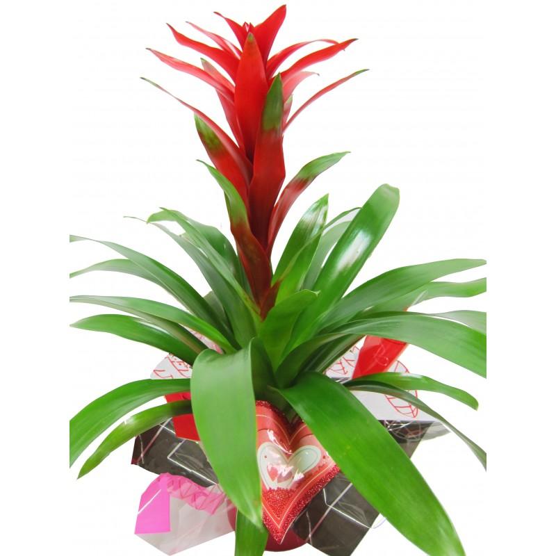 planta interior cupido el rincón de las flores
