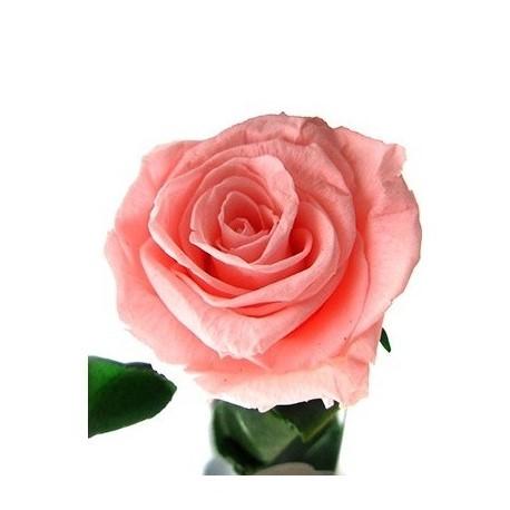 Rosa eterna rosa